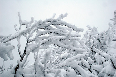 Trees once standing erect now sucumb to the weight of rime building on their branches.