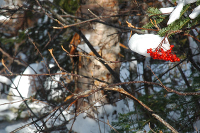 Snow topped Mountain Ash berries.