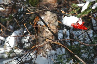 Snow topped Mountain Ash berries.