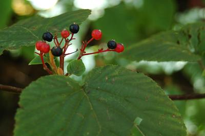 King Ravine Berries