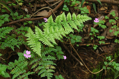 KILIMANJARO: Ferns are everywhere, Africa and the slopes of Kilimanjaro are no exception.