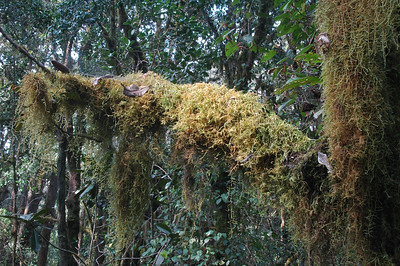 KILIMANJARO: The moss is thick in the rain forest.