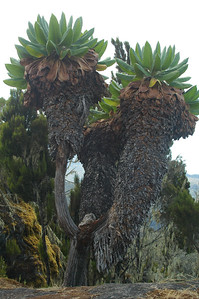 KILIMANJARO: Commonly refered to as a Senica Tree, this unique plant is more properly described as a shrub that becomes very large. The scientific name is Senecio Kilimanjari in the family Asteraceae (sunflowers).