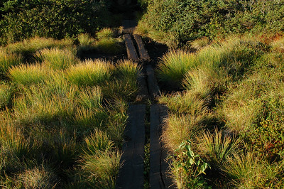 More bog bridges, now amongst the tufts of grass in the long morning light.