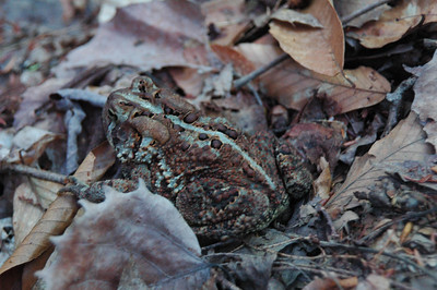 On our way down along Peabody Creak this toad tries to hide in the leaf litter on the side of the trail.