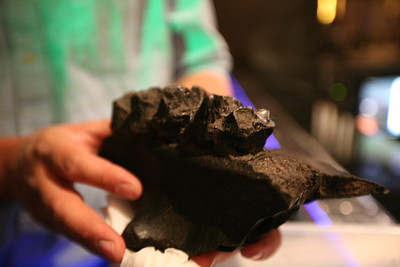 SNOWMASS, CO -  Dr. Ian Miller brings a Mastadon Jaw fresh out of the ground from the Ice Age Dig.