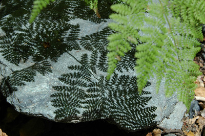 Fern shadow on the rock.