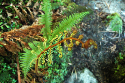 More fresh ferns sprouting out along the trail.
