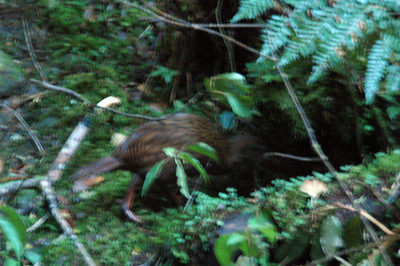 A burst of wildlife races across the trail. The ground nesting Weka bird.