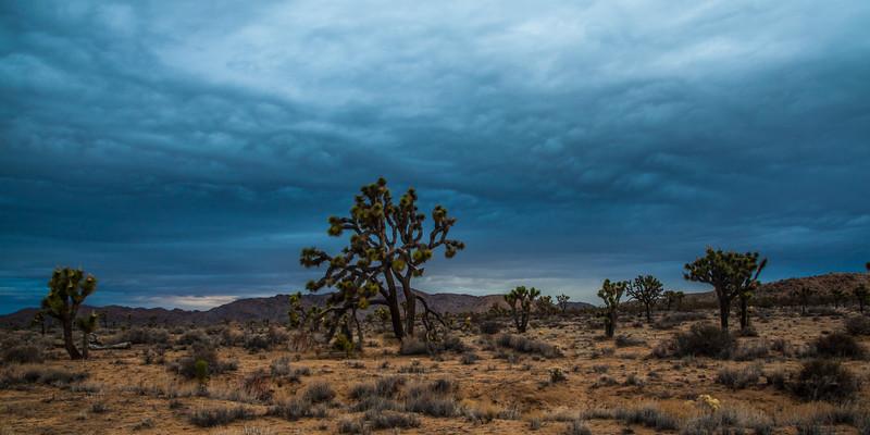 Joshua trees & approaching storm.