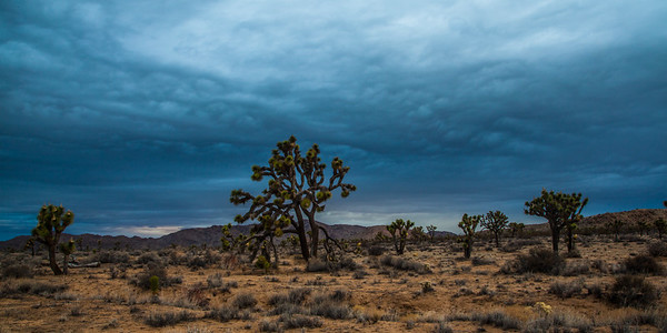 Joshua trees & approaching storm.