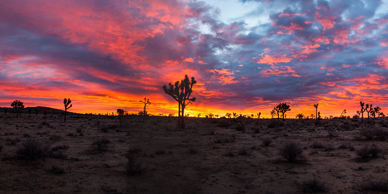 Joshua trees at sunrise. Joshua Tree National Park