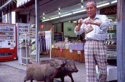 Wild pigs roaming around the vendors at Udo Jingu (Shrine) eagerly await a morning treat.