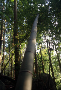 Top heavy bamboo bending to the pressure of gravity.