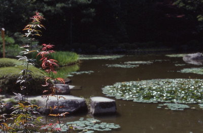 Young Japanese Maple along the pond in the garden at Heian Shrine.