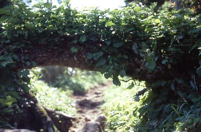 Low bridge covered in vine on the way up Rishiri-zan.