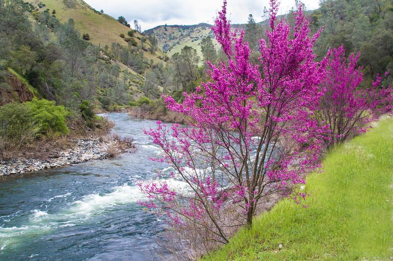 Redbud along the Merced River