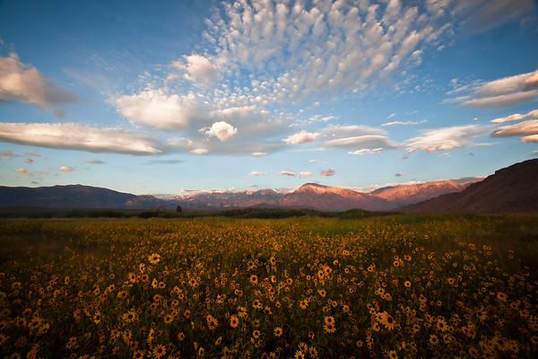 """Sunflowers at Sun Rise"", near Bishop with alpenglow on Mt. Tom & Basin Mt."