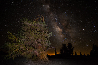 A mature, healthy Great Basin Bristlecone Pine in the Patriarch Grove of the Ancient Bristlecone Pine Forest.