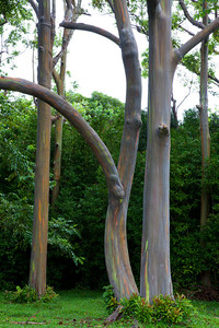 """Rainbow Eucalyptus"", Road to Hana, Maui"