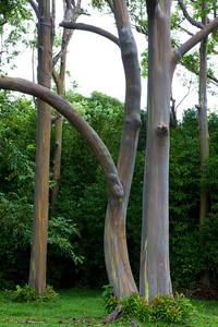 """""""Rainbow Eucalyptus"""", Road to Hana, Maui"""