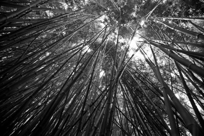 """Bamboo Forest"", Road to Hana, Maui"