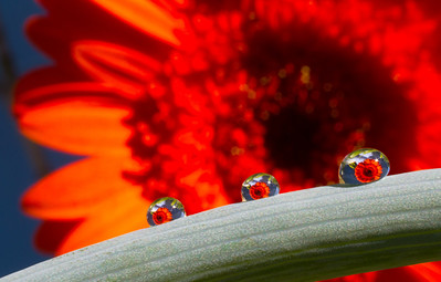 Orange Gerbera flower with water drops