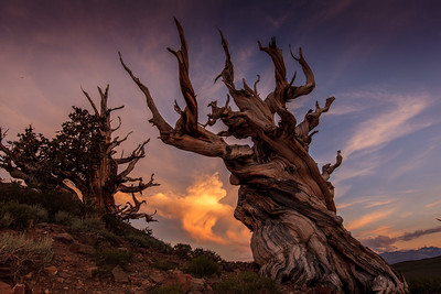 Ancient Bristlecone Pine at sunset.