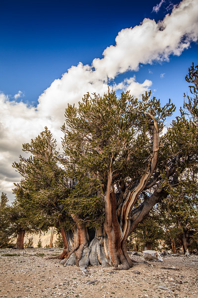 The Patriarch tree. The largest Bristlecone Pine in the world.