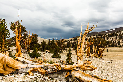 The Ancient Bristlecone Pine Forest is located in the White Mountains east of Big Pine. At  10,000 t0 11,300  feet of elevation it is home to the oldest trees in the world.