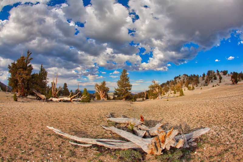 Bristlecone Pines in the Patriarch Grove, Ancient Bristlecone Pine Forest, White Mountains, Ca.