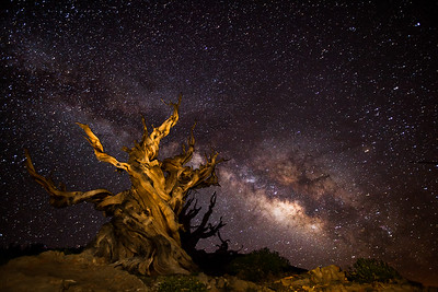 Bristlecone Pine and the Milkyway in the Ancient Bristlecone Pine Forest in the White Mts.