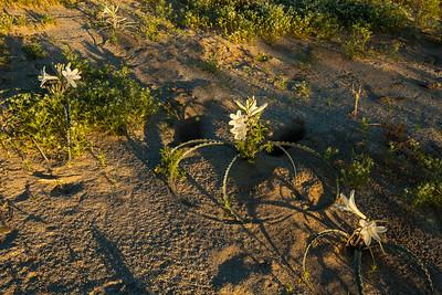 Desert Lilies