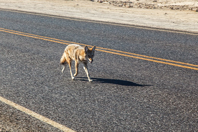 This Coyote thought he owned the road