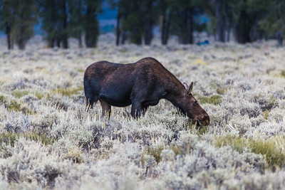 Moose Cow, Grand Teton National Park