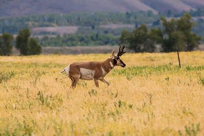 Pronghorn, male