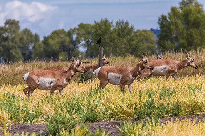 Pronghorn, female