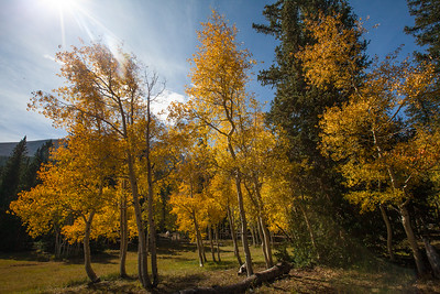 Aspen trees in the park