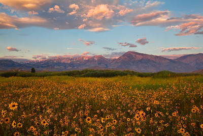 Early morning light on Mt. Tom & Basin Mt. with sunflowers. Near Bishop Ca.