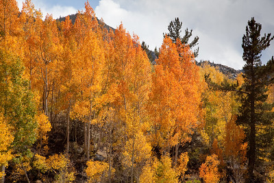 Aspen trees in Bishop Creek Canyon