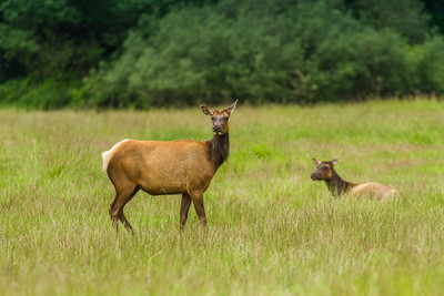 Roosevelt Elk at Elk meadows just north of Orick Ca.
