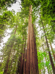 California Coastal Redwoods