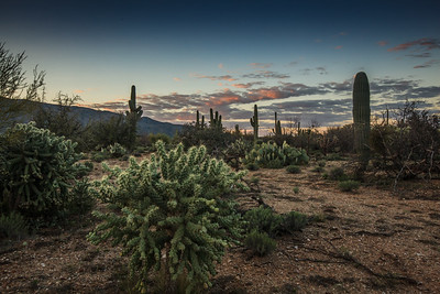 Cholla, Beavertail & Saguaro cactus at dawn