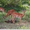 The Male Impalas