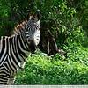 The Zebra Stare