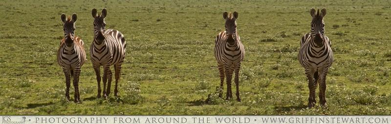 The Four Zebras