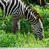 The Hungry Zebra
