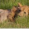 The Lazy Lion