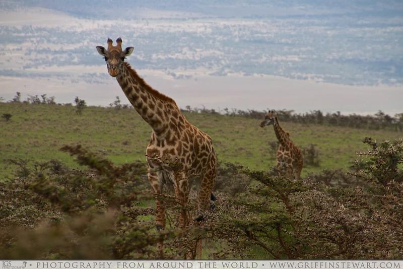 The Curious Giraffe
