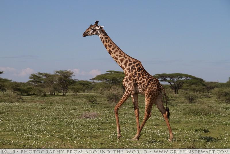 The Slow Motions Running Giraffe